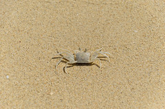 Tropical Crab (ray_anthony) Tags: travel holiday beach thailand island sand nikon asia southeastasia crab tropical nikkor phuket crustacean islandlife d5100