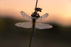 Dark (Skodiar) Tags: night sunrise sunset nacht sonnenaufgang sonnenuntergang insekt insect dragonfly libelle canon 6d makro outdoor