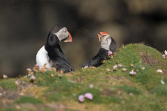 _MG_1462.jpg (helmutfaugel) Tags: schottland fairisle grosbritannien europa vogel 2016 shetland papageientaucher orte