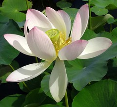 Touched by light 6 (gomosh2) Tags: lotusflower aquaticplant doublefantasy