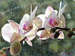 My orchids, blooming again. (Cajaflez) Tags: orchid orchidee flower bloem blooming bloeien opnieuw bokeh