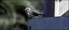 IMG_0860-cropspflycat (ryancarter2012) Tags: bird spotted menorca cala flycatcher galdana