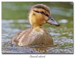 Canard Colvert / Mallard  153A9288 (salmo52) Tags: birds danville mallard anasplatyrhynchos oiseaux anatidae anatidés canardcolvert étangburbank salmo52 alaincharette