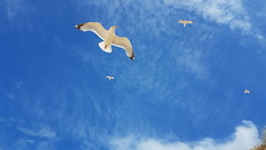 Seagulls Crantock beach (andrewmartin267) Tags: seagull seaside cornwall blueskies gull bird