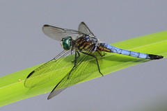 Blue Dasher....about to dash! (Paridae) Tags: bluedasher dragonfly dragonfliesofbritishcolumbia dragonfliesoflangley campbellvalleypark insectsofbritishcolumbia insectsofcanada insecteaters thingswithwings afewofmyfavouritethings canoneos7d pondlife