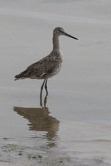 Western Willett (J.B. Churchill) Tags: birds ca california pillarpoint places sanmateo shorebirds taxonomy will westernwillett halfmoonbay unitedstates us