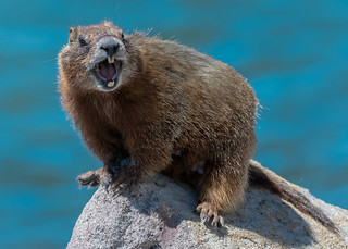Barkin' Marmot
