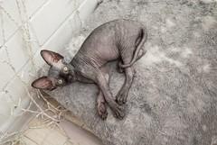 # #chekhov #chehov #home #animal #pet #fauna # #cat #cats #pussycat #pussycats #pussy #kitten #kitty # #chat #katze #gatto #gato #kedi # # # # #sphynx #sphinx #sphynxofinstagram #sph (jacksparrow34) Tags: kitten  fauna gatto cats katze kitty animal pet gato chekhov kedi  pussycats  chehov pussycat home pussy sphinx  sph chat   sphynxofinstagram sphynx cat
