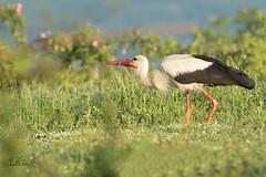 Der frühe Vogel fängt den Wurm .... (Claudia Brockmann) Tags: nature wildlife natur wiese storch wurm