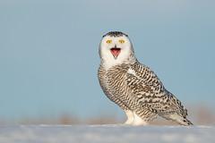 Snowy Owl (AaronBaggenstos) Tags: snowy owl