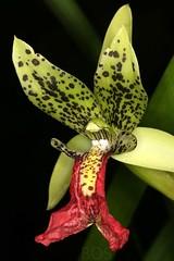 Cymbidiella pardalina (Pterodactylus69) Tags: orchidee orchid orquidea orchidaceae monocot botanic garden botanischer garten herrenhuser grten herrenhausen gardens berggarten flower flor fleur blte botanik botany botanica
