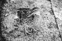 D U C K (wildbam25) Tags: ente duck vogel bird black white blackandwhite schwarzweiss schwarz weiss bodensee konstanz sony a72 a7ii ilce7m2 70200mm f28 40 iso 500
