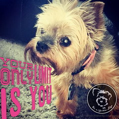 Get out there and rock this, OK? (itsayorkielife) Tags: yorkiememe yorkie yorkshireterrier quote