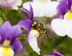 Nature Macro (Bee or wasp?) (Downtime_1882) Tags: color colour macro nature horizontal landscape outdoors 7d canoneos naturemacro macrophotography colorimage waspmacro beemacro colourimage canonef100mmf28macro eos7d canoneos7d