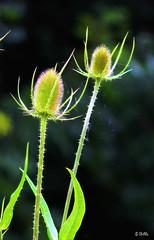 Thistle (gshaun12) Tags: macro macrodreams nature web green bokeh plant flower fantasticnature
