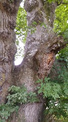 2016-08-02 13.26.31 (Lins Art) Tags: tree scotland balmaha lochlomond