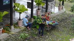 floristas preparando los arreglos del da de hoy (Mayan_princess) Tags: chiapas argovia finca resort caf coffee kaffee paraso paradise vegetacin vegetation verde green ro river spa relajacin relax forest selva orgnico autosostenible