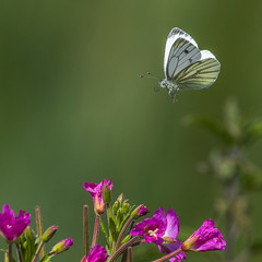 Green-veined white in flight (andymulhearn) Tags: sigma150600mmc eos7d2 canon greylake somerset rspb