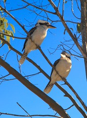 Kookaburra sits in a gum tree (Photos by Lance) Tags: photo shutterstock feedtime
