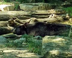BearColumbusZoo052612a (homeboy63) Tags: spring 2012 ohio columbus zoo fauna bears