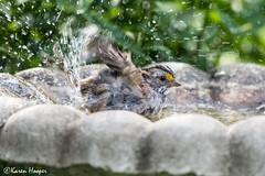 Splish splash! (Karen 571) Tags: bird sparrow whitethroatedsparrow zonotrichiaalbicollis