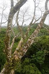 60071611 (wolfgangkaehler) Tags: 2016 southamerica southamerican ecuador ecuadorian latinamerica latinamerican rionapo rionapoecuador rionaporiver rainforest coca cocaecuador laselvalodge observationtower tower rainforestcanopy epiphyticplants epiphyte epiphytes trees