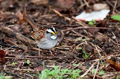 2016 White-throated Sparrow 2 (DrLensCap) Tags: whitethroated sparrow montrose point bird sanctuary chicago illinois il robert kramer