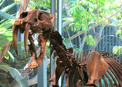 Sabre-toothed cat skeleton (Ruth and Dave) Tags: labreatarpits labrea la losangeles sabretoothedcat sabretoothed cat bigcat feline skeleton fossil fossilized iceage animal