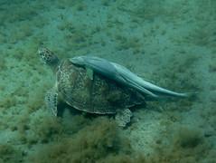 IMG_3729 (adrienweckel) Tags: adrienweckel cheloniamydas echeneisnaucrates poissons rémoracommun rémorarayé tortueverte