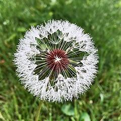make a wish. (kaylacee2) Tags: wish beauty nature dandelion flower weed