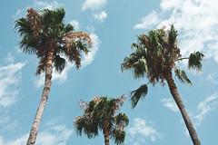 (Coral G. Granda) Tags: marruecos tanger morocco palms palm palmera paradise paraiso sun sunny street streetphotograhpy streetshoot nature