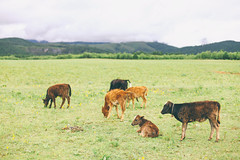 "The cows say ""moo-moo"". (Jacz Tse) Tags: nature farm shangrila fresh green grassland grass cow cows ox mountain mountains animal landscape landschaft eos roadtrip enjoying travel yunnan inmylife inthemoment outdoor bokeh asian scenery summer skyline scene f14 canon view vscoflim vintagecolor 5dmarkii 50mm14 50mmf14 50mm vacation china beautiful backpacker filmlook filmlookfromdigital digitalfilmeffect"