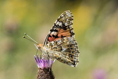 Distelfalter (Vanessa cardui; Syn.: Cynthia cardui) (AndreLo2014) Tags: cynthiacardui vanessacardui distelfalter butterfly macro sonyalpha sigma105mmf28exmakro