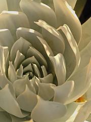 Succulent (JINfotografo) Tags: succulent flower flowers garden california nature natural nikon d7000 sigma sigmalens