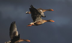 Three's a Crowd (Cal Killikelly) Tags: greylag goose wildlife bird nature wirral burton mere rspb
