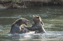 Grizzlies at Play (Duncan Jacob) Tags: bear animal outdoor grizzly