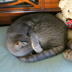 Do Not Disturb #2 (Millie 14 April 2015) 4452Ri sq (edgarandron - busy!) Tags: cats cute cat feline tabby kitty kitties tabbies millie graytabby bestofcats