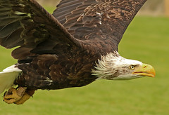 Eagle in flight (Wilamoyo) Tags: birds animal flying moving wings eagle action flight attack beak feathers bald prey hook predator creature swooping