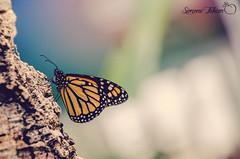 Colorful Butterfly (meepeachii) Tags: orange colors butterfly germany insect deutschland colorful makro botanicalgarden insekten augsburg farben schmetterling botanischergarten