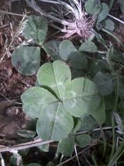 四つ葉のクローバー 画像42