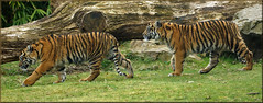 Tiger twins on adventure (Foto Martien) Tags: holland cup netherlands dutch sisters cat sumatra indonesia zoo kat sony tiger arnhem nederland twin lara bigcat burgers tess sumatrantiger wildcat tijger janine veluwe indonesië a77 dierentuin gelderland dierenpark 70300 jarum rimba whelp aryo sumatratiger welp nonja pantheratigrissumatrae sumatraansetijger burgersdierenpark bedreigdediersoort tigredesumatra martienuiterweerd martienarnhem fotomartien sonyslta77v sonyalpha77 geotaggedwithgps endangeredanimalspecies tamron70300mmf456sp koninklijkeburgerszoo