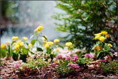 Fountain in the Sun Dreamy (ChristianRock) Tags: flowers nature 50mm pentax manual ricoh manualfocus 50mmf14 rikenon ricoh50mmf14 kmount rikenon50mmf14 k20d pentaxk20d rikenonxr50mmf14