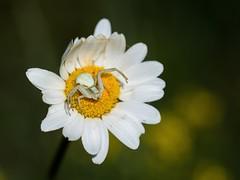 Misumena vatia (giansacca) Tags: flowers fleurs spider fiori crabspider ragno araneae misumenavatia thomisidae aracnide tomisidi ragnogranchio