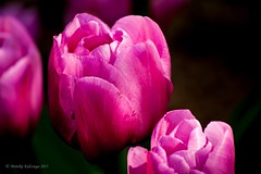 Pretty in pink - EXPLORE 06.06.2015 and dropped for using watermark! (Monika Kalczuga (v.busy)) Tags: flowers plant black flower holland garden tulips outdoor tulip serene backgroud nether