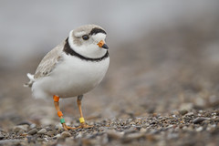 Colour-banded Piping Plover - Charadrius melodus melodus - Pluvier siffleur (Paul B Jones) Tags: ontario canada bird tourism nature animal island photography photo spring lakeerie image wildlife birding picture conservation greatlakes telephoto photograph pelee endangered migration oiseau pipingplover ringed ringing banding ecotourism banded shorebird wader peleeisland fishpoint ontarioparks pluviersiffleur colorband ef800mmf56lisusm charadriusmelodusmelodus canoneos1dmarkiv colourbanded fishpointprovincalnaturereserve lîlepelée