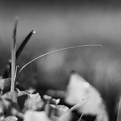 grass and drops (Stefano Rugolo) Tags: pentax k5 smcpentaxm50mmf17 grass garden morning squareformat spring 2015 droplets bokeh stefanorugolo