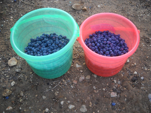 Buckets of Blueberries May 15, 2015