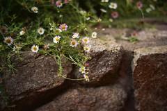 Spillover (lucy*d) Tags: flowers carmel carmelbythesea retainingwall