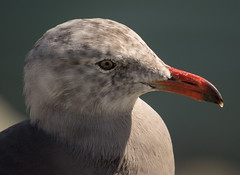 Heermann's Gull (Larus heermanni) (ekroc101) Tags: california birds sandiego shelterisland heermannsgull larusheermanni