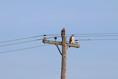 Red-Tailed Hawks Near a Farm in Saline, Michigan - July 23, 2016 (cseeman) Tags: redtailedhawk birds birdsofprey saline michigan fields powerline powerpole hawks summer farm hawk07232016
